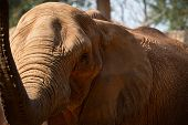 picture of teats  - African Elephant raise the trunk with a dignified look - JPG