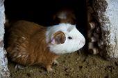 image of pig  - A cute guniea pig on a sunny day - JPG