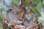 stock photo of bird-nest  - A bird nest of baby Zebra Doves on a Neon Tree  - JPG