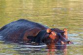 foto of hippopotamus  - portrait of Hippo Hippopotamus Hippopotamus - JPG