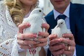 stock photo of ring-dove  - pigeons in the hands of the newlyweds - JPG