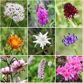 pic of edelweiss  - from top left - JPG