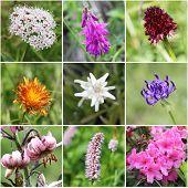 foto of edelweiss  - from top left - JPG