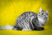 pic of yellow tabby  - tabby maine coon cat on yellow background - JPG