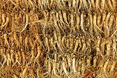 pic of ginseng  - crowd of real ginseng from the North of Korean Republic - JPG