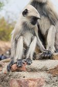 picture of ape  - ape family sitting on a stone in india - JPG