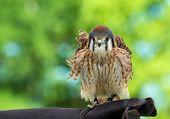 pic of falcon  - American Kestrel  - JPG