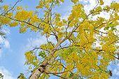 picture of vishu  - Golden shower tree - JPG