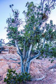 stock photo of juniper-tree  - An ancient gnarled juniper tree near Navajo Monument park utah - JPG