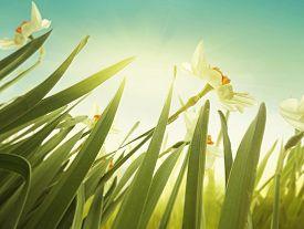 foto of daffodils  - Daffodil floral spring background - JPG
