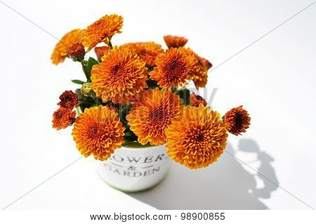 Chrysanthemum flowers in a decorative pot on a white background