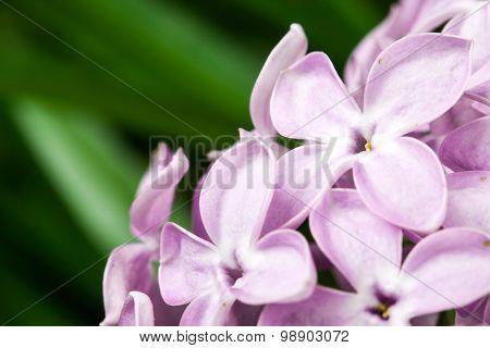 violet lilac flowers
