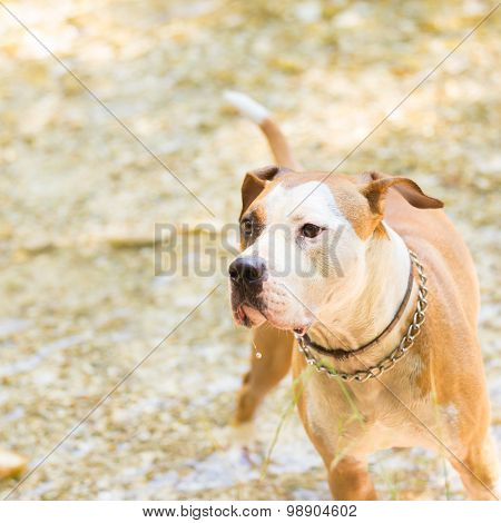 American staffordshire terrier dog playing in water.