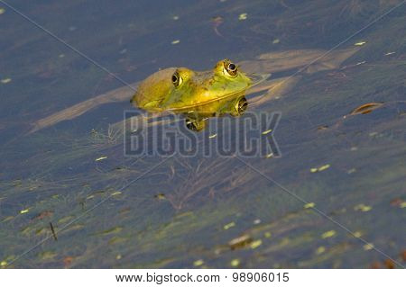 half submerged bullfrog