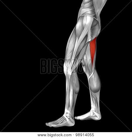 Concept or conceptual 3D gastrocnemius human upper leg anatomy or anatomical and muscle isolated on black background
