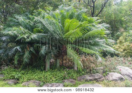 Cycad Palm plant
