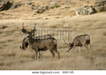 8 Zeigen Buck