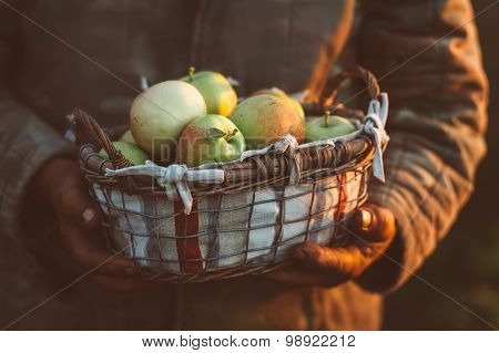 Harvest apples.