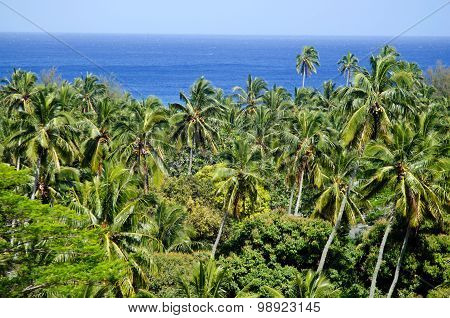 Canopy Of Coconut Palm Trees