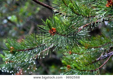 Conifer, Closeup Image