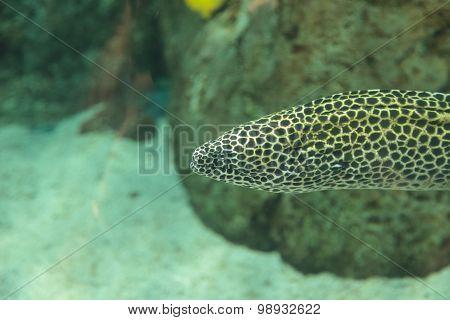 Leopard moray eel, Enchelycore pardalis