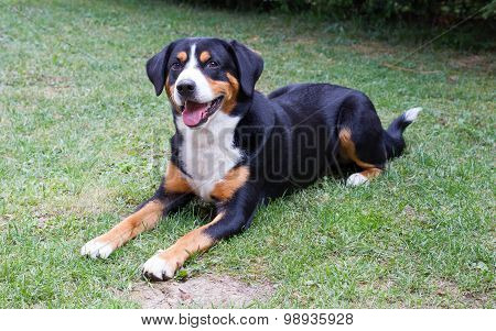 Young Sennenhund