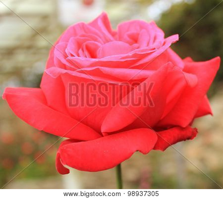Red blossom rose