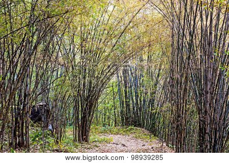 Bamboo Dry Autumn