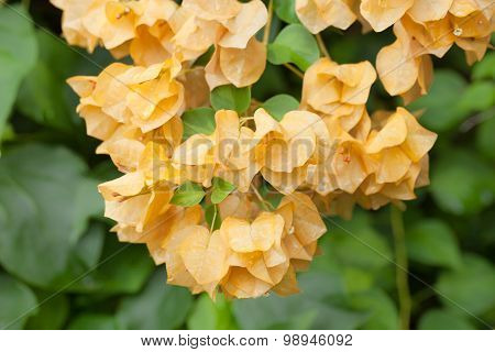 Bush With Yellow Flowers Blooming Bougainvilleas