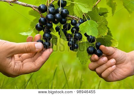 Two Hands, Child And Women, Picking Berries Of Black Currant Tog