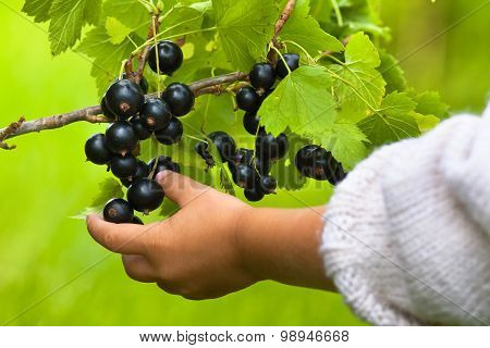 Hand Of Child Picking Berries Of Black Currant