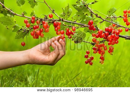 Hand Of Child Picking Berries Of Red Currant