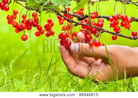 Hand Picking Berries Of Red Currant