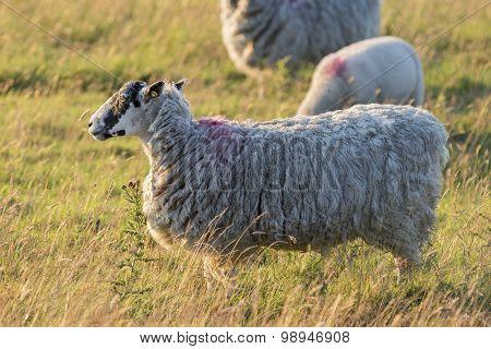 Sheep In Sunset Light