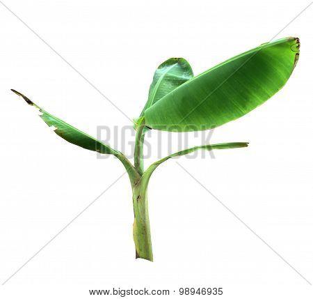 Little Banana Tree