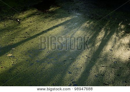 Duckweed Covering The Entire Surface Of The Water In The River Dam Forest