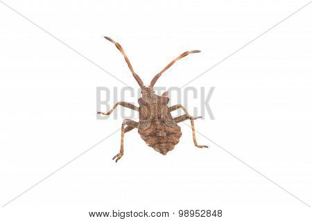 Brown Dock Bug On A White Background