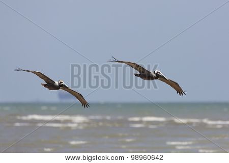 Pair Of Brown Pelicans  Soaring Over The Gulf Of Mexico - Texas