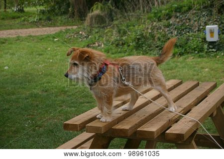 Naughty terrier dog on picnic bench
