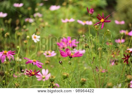 colorful cosmos flowers in the garden