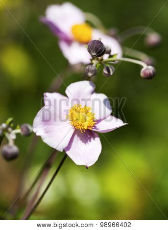 Blooming Anemone hupehensis or Japanese Anemone flower, shallow depth of field