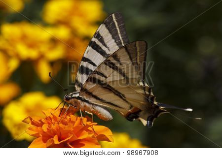 Close Up Of Swallowtail Butterfly