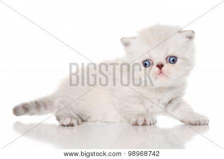 Persian Kitten On White Background