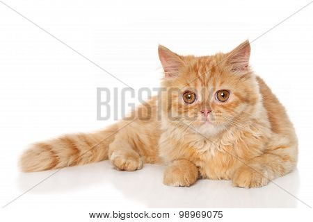 Ginger Persian Kitten