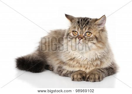 Persian Shorthair Cat