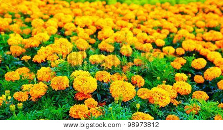 Summer field of Marigold flowers