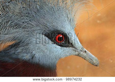 Southern crowned pigeon (Goura scheepmakeri). Wildlife animal.
