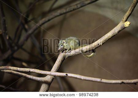 Northern treeshrew (Tupaia belangeri). Wild life animal.