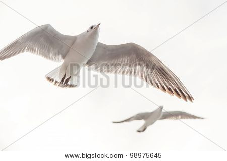 Flying Seagull, Most Famous Among Seabirds