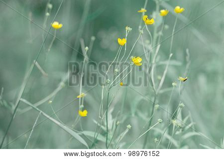 Buttercup flower closeup